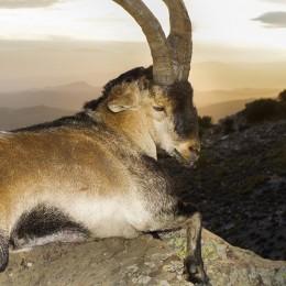 Spanish Southeastern Ibex