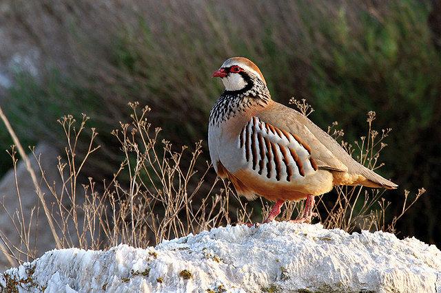 Red legged partridge, Caza Hispanica
