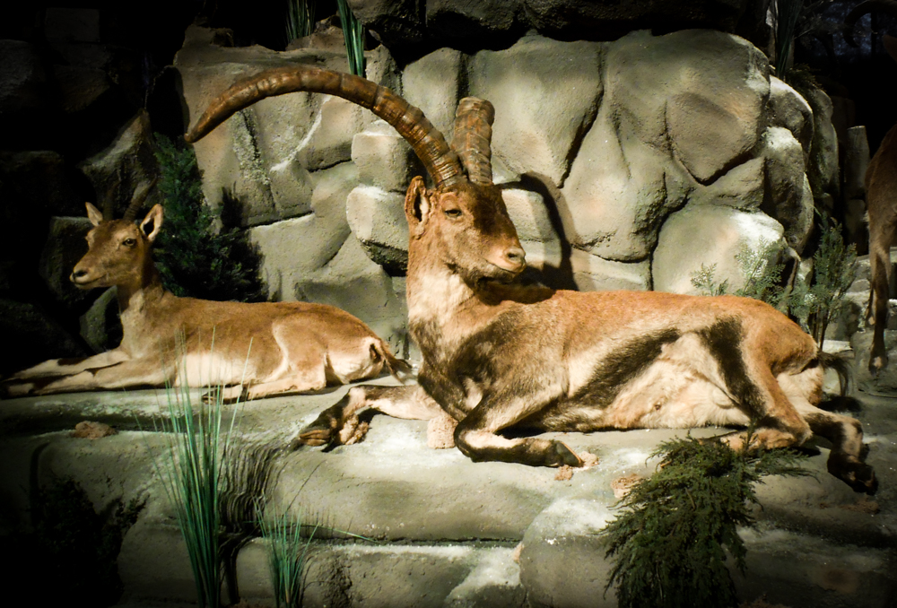 Beceite Ibex and doe, taxidermy