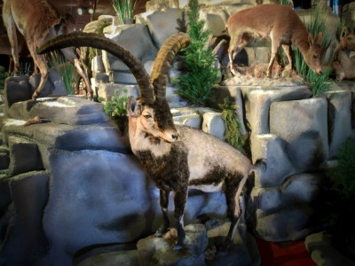 Beceite Ibex, taxidermy