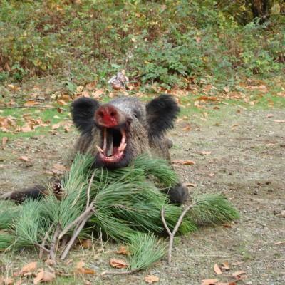 Big game hunt in Spain: Wild boar