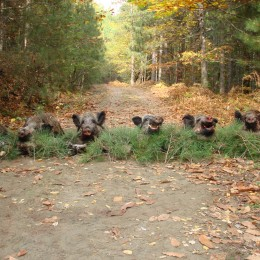 Group of harvested wild boars