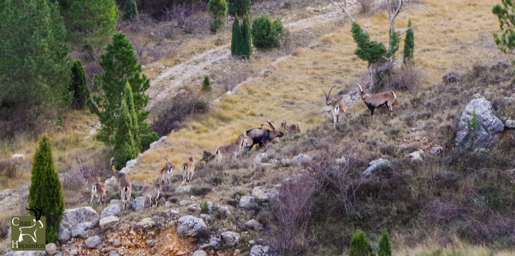 Spanish Ibex herd