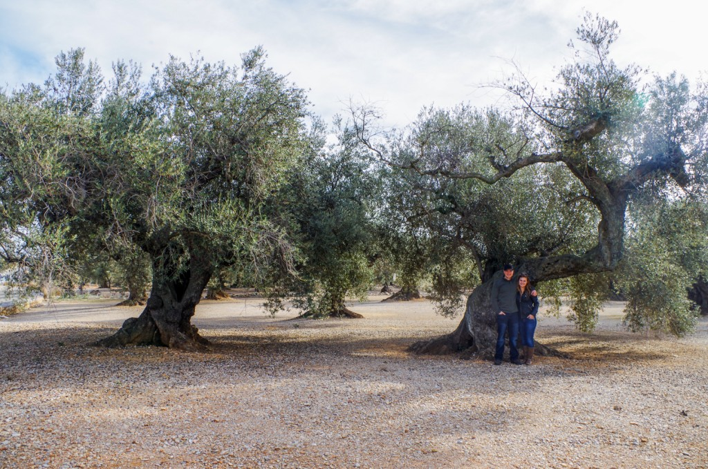 Hunting and tourism, old olive tree