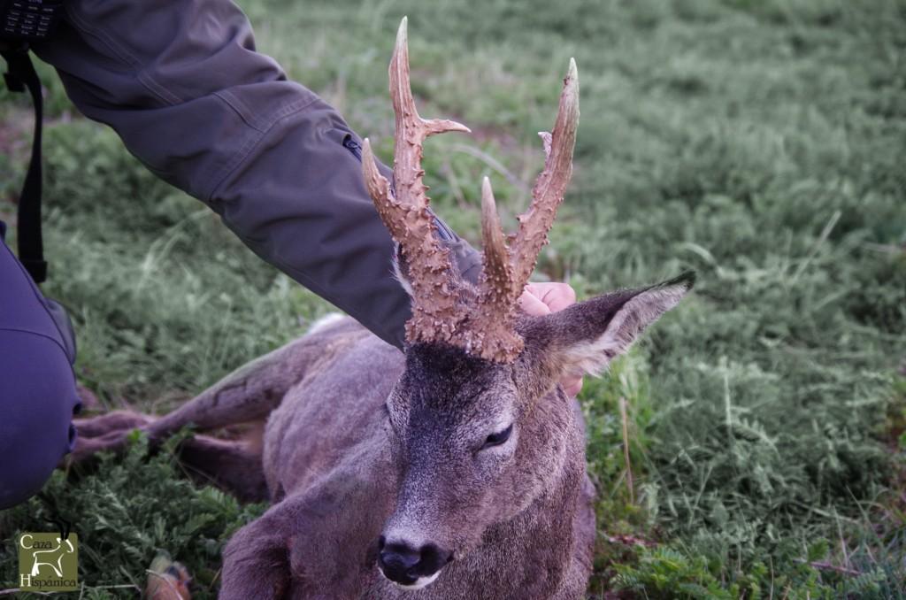 Hunting the European Roe deer in Spain