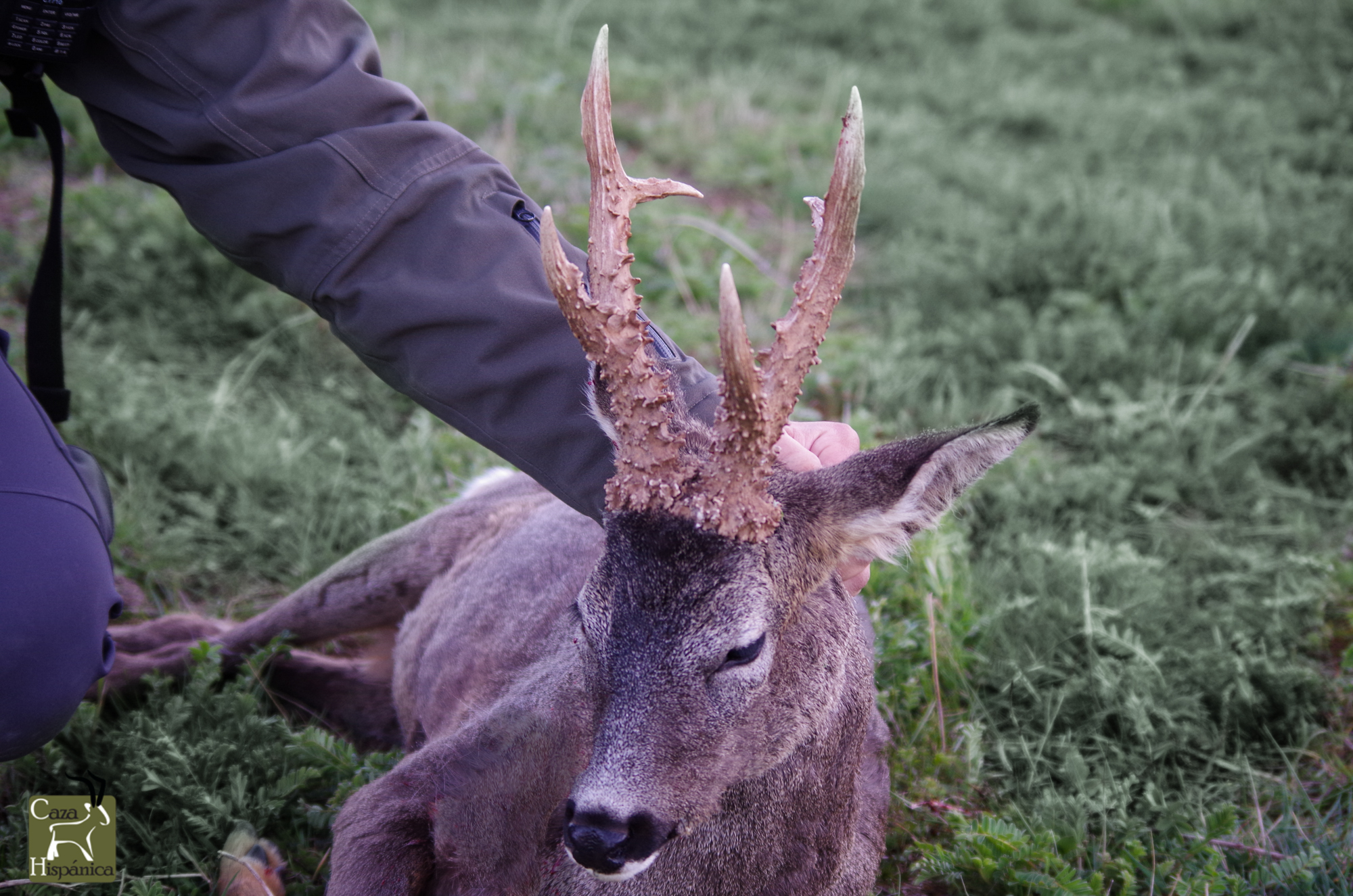 Hunting the European Roe deer in Spain