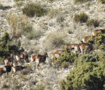 Mouflon Sheep Spain