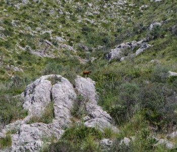 Spanish Ibex and Balearean goat hunt