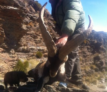 Spain hunting trip, Beceite Ibex, Southeastern Ibex, Barbary Sheep and Mouflon Sheep
