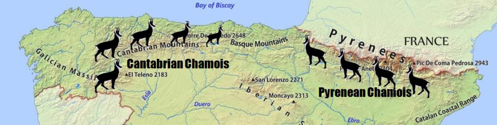 Chamois hunting Spain